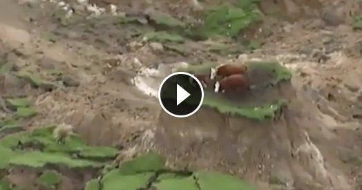 Terremoto in Nuova Zelanda, il terreno sprofonda: mucche intrappolate sul prato col dirupo intorno