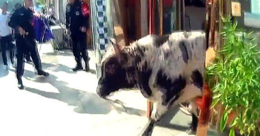 Toro furioso semina il panico per le strade della città. Braccato dagli agenti viene abbattuto