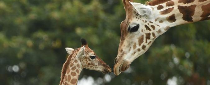 Anche le giraffe nella lista rossa delle specie a rischio di estinzione