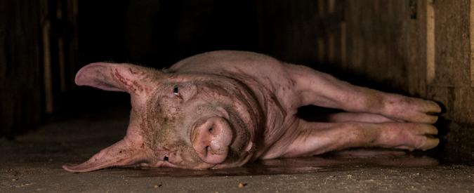 Consorzio di Parma, maiali maltrattati: più che crudo prosciutto crudele