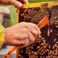 Il trucco per baciare le api? L'affumicatore. Prima di aprire un alveare (50.000 api con il pungiglione) faccio sentire loro l'odore di fumo. In questo mondo saranno allarmate e non vorranno far altro che scappare per salvarsi. Ma prima di abbandonare il nido si riempiranno la pancia di miele e così si distraggono e non mi pungono.