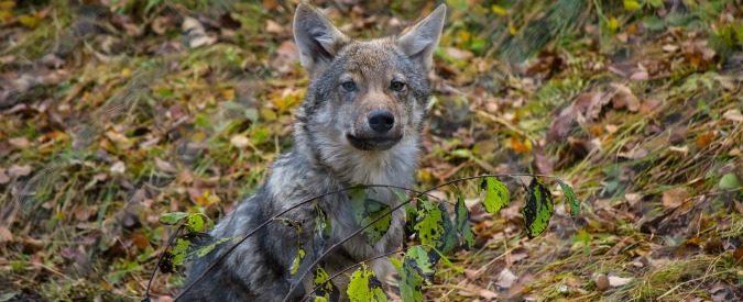 Abbattere i lupi? Una decisione crudele e inutile