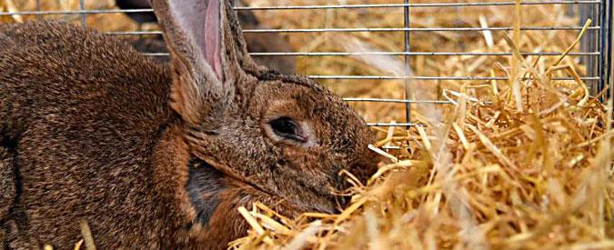 Ue, il Parlamento apre alla abolizione delle batterie per l'allevamento dei conigli