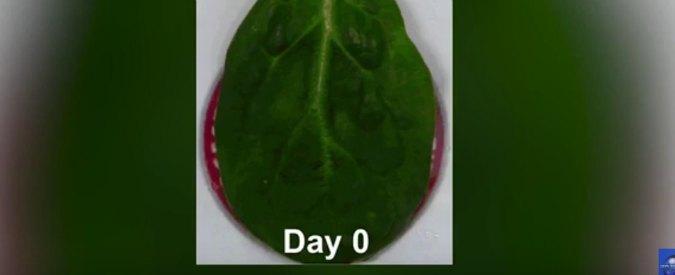 """Frammento di cuore """"cresciuto"""" su foglie di spinacio – VIDEO"""