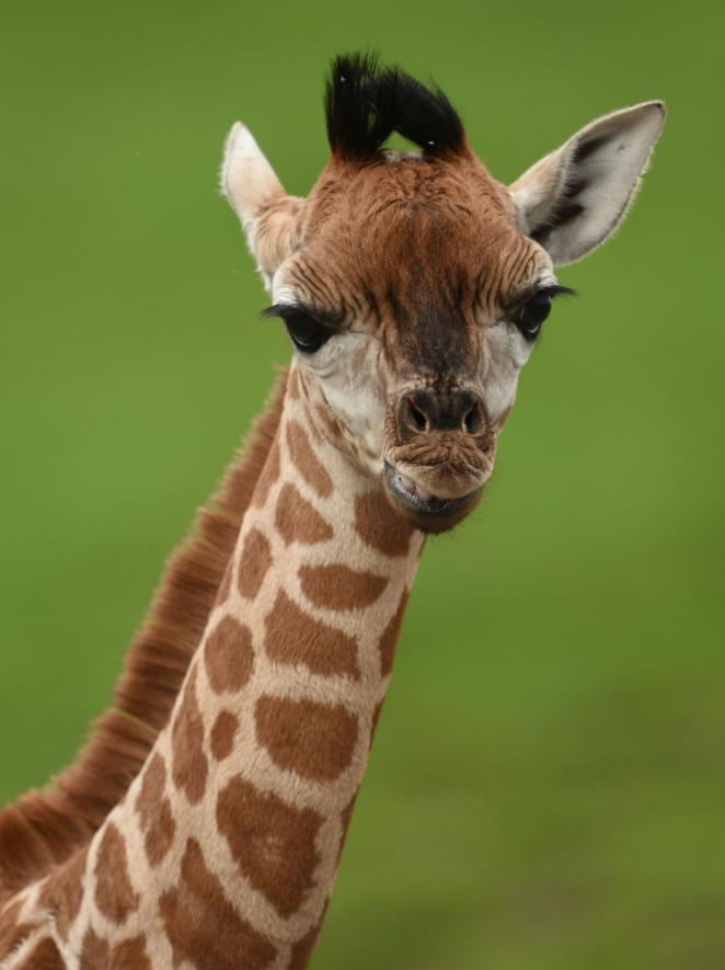 April la giraffa da trenta milioni di spettatori for Immagini giraffa per bambini