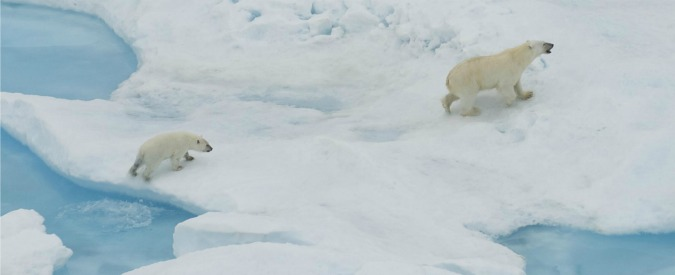 Anche l'orso polare verso l'estinzione, entro il 2050 potremmo perdere i due terzi della popolazione