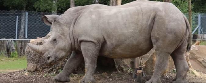Parigi, la mattanza di rinoceronti arriva in Europa: esemplare ucciso per rubargli il corno. In Sudafrica uccisi 3 al giorno