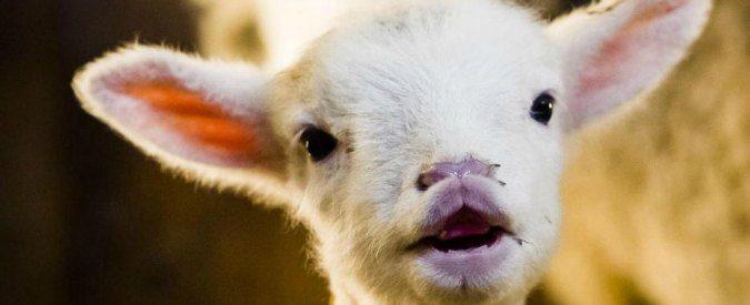 Pasqua: sgozzare un agnellino è molto difficile, mangiare carne arrosto è troppo facile