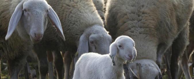 Terremoto, i pastori sardi donano mille pecore a quelli di Cascia che hanno perso le greggi