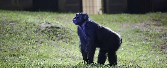 """Argentina, Cecilia liberata dal tribunale. Il giudice: """"No alla prigione, anche per gli scimpanzé valgono diritti umani"""""""
