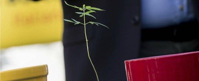 Legalizzazione cannabis, il Parlamento non ci prova neppure e affossa la legge. Un anno fa la sostenevano in 300