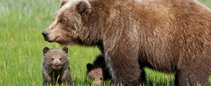 """Orso in Trentino, la provincia ordina la caccia: autorizzato """"l'abbattimento"""". Lac: """"Impugneremo l'ordinanza"""""""