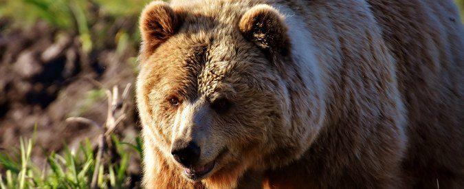 Trentino, gridare 'all'orso all'orso' non serve. La politica deve dare una risposta