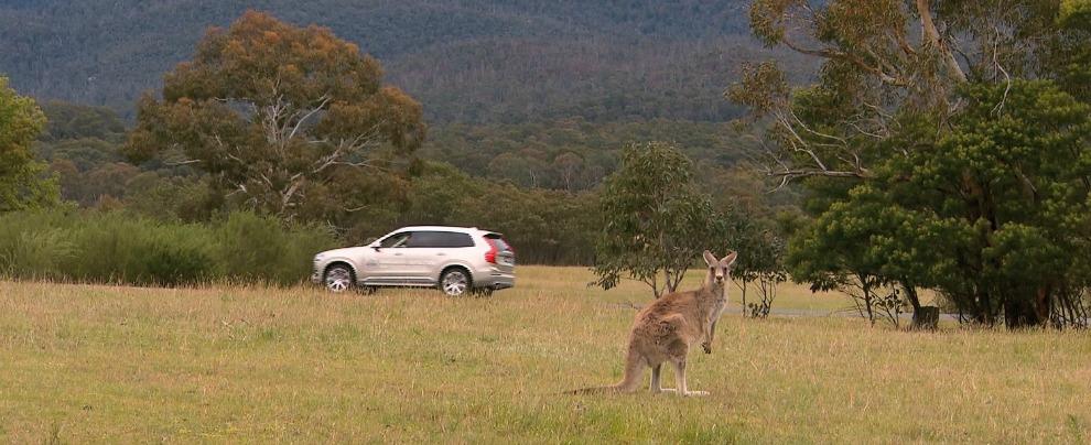"""Volvo, le auto senza pilota non """"vedono"""" i canguri. In Australia si corre ai ripari"""