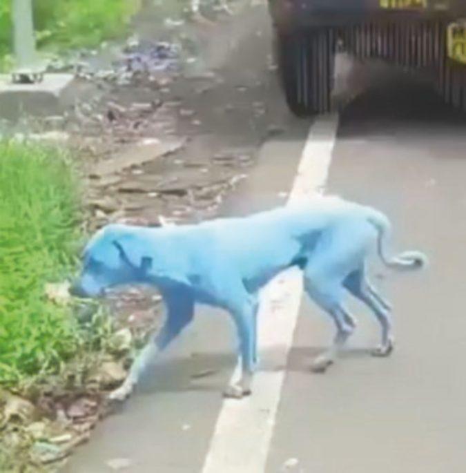 Un bagno nel fiume e i cani diventano blu