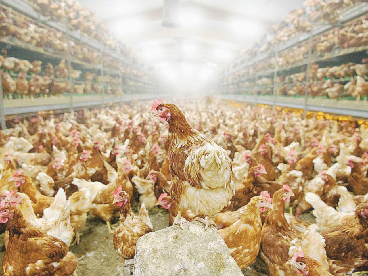 In Italia c'è l'aviaria: milioni di capi abbattuti tra Lombardia e Veneto