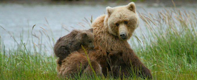 L'orsa Kj2 è morta. E noi riposeremo (ma non in pace)
