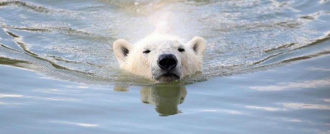 """Orsi polari, l'allarme dell'Enpa: """"Cosa ci fanno lì a 36 gradi nello zoo di Fasano?"""""""
