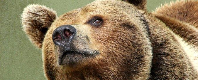 Mamma orsa Kj2 abbattuta. Con lei sparisce anche la politica ambientalista trentina