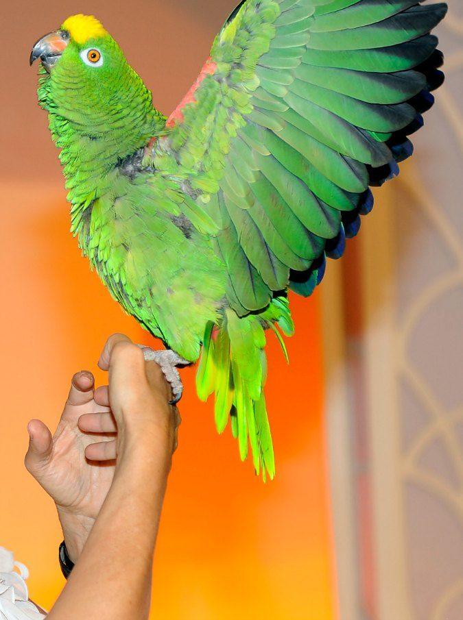 Faceva da palo al padrone-spacciatore: arrestato un pappagallo