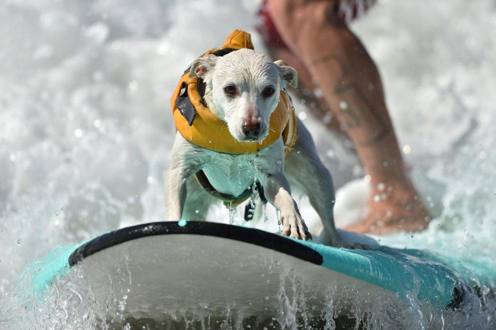 California, il campionato di surf per i cani
