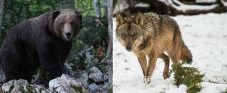 """Orsi e lupi, Bolzano: no al ripopolamento. Tetto massimo e abbattimenti più facili. L'assessore: """"Ora passiamo all'attacco"""""""