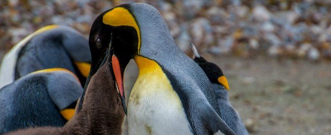 Vorrei diventare amico di un pinguino (imperatore) omosessuale