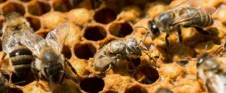 Api, l'Unione europea vieta tre insetticidi dannosi. Utilizzo sarà consetito solo all'interno di serre permanenti