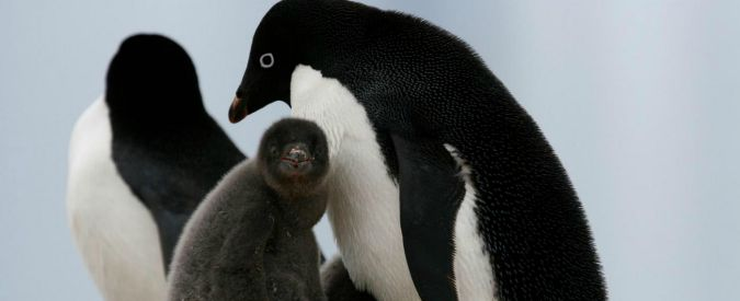 Antartide, strage di pinguini di Adelia: solo due cuccioli sopravvissuti