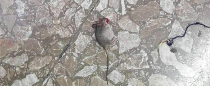 Roma, chiusa fino a data da destinarsi la scuola invasa dai topi. I genitori preoccupati per la continuità didattica