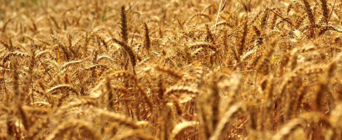 Ecco il grano duro resistente alle alte temperature, l'invenzione è italiana