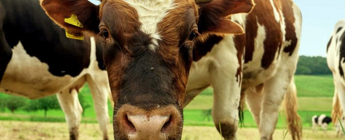 Mungere le mucche da uno smartphone? Grazie a una ragazza di 23 anni oggi si può