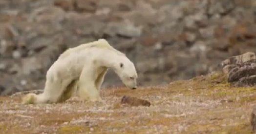 L 39 orso polare si trascina in cerca di cibo il toccante for Cabine lungolago grande orso