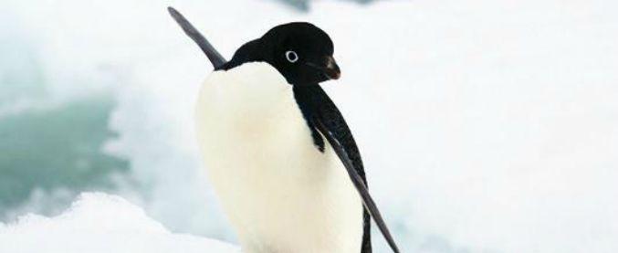 Scoperti fossili di un pinguino preistorico: alto e pesante come un uomo