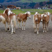 Puledri Haflinger nell'allevamento di Ebbs