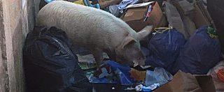 """Roma, Raggi: """"Il maiale in strada postato dalla Meloni? Abbiamo scoperto che appartiene a un Casamonica"""""""