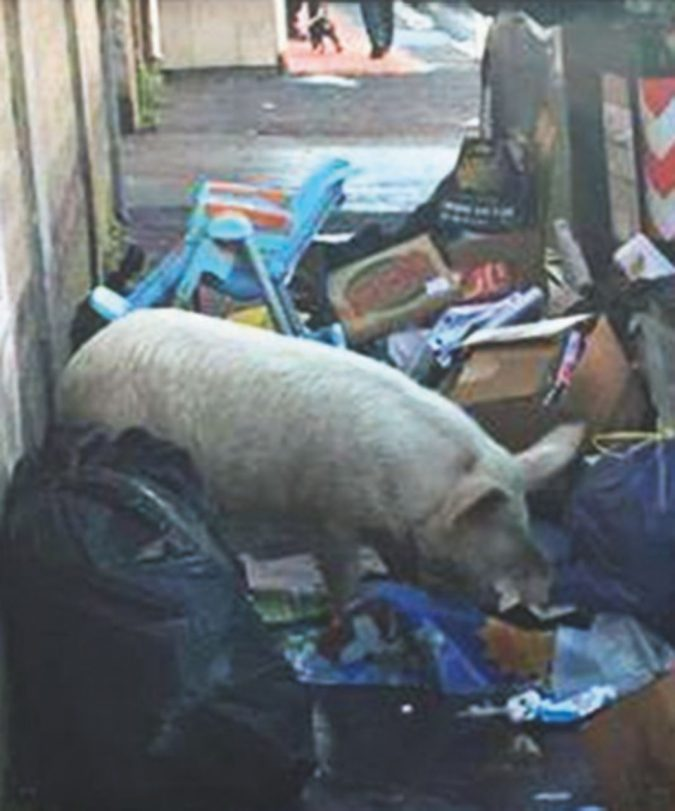 Giallo risolto: il maiale che vaga per Roma è dei Casamonica