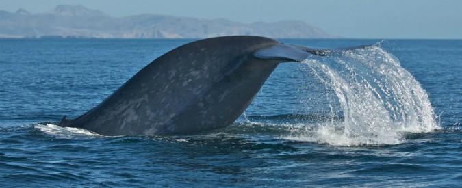 """Giappone, dietro l'ammodernamento della flotta c'è la caccia alle balene. Ma per """"scopi scientifici"""""""