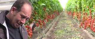 """Il pomodoro di Pachino schiacciato dai trattati Ue. Gli agricoltori: """"Raccoglierlo non conviene. La politica ci prende per i fondelli"""""""
