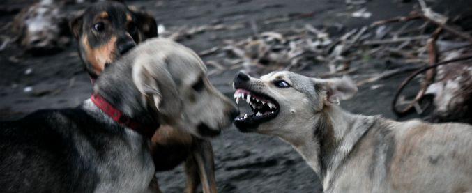 Combattimenti tra cani, perché sono una 'turpe competizione'