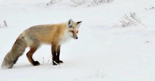 Yellowstone la caccia della volpe è in mezzo alla neve e