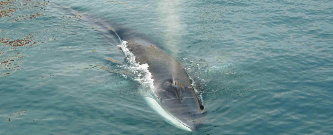 Norvegia, il governo aumenta il numero di balene da cacciare: nel 2018 se ne potranno uccidere 2178