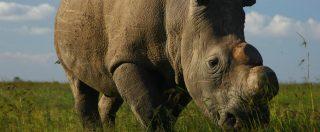 Il rinoceronte Sudan è l'ennesima vittima innocente dei crimini di natura