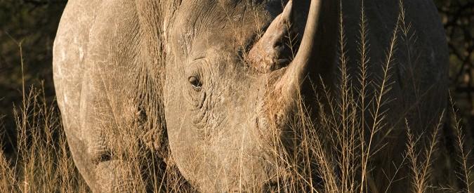 Kenya, è morto l'ultimo rinoceronte bianco settentrionale maschio. Restano in vita solo due femmine della specie