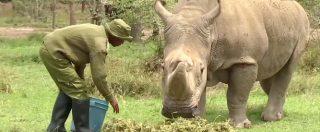 """Addio Sudan, ultimo maschio di rinoceronte bianco. Nel 2017 su Tinder era """"lo scapolo piu' desiderabile del mondo"""""""
