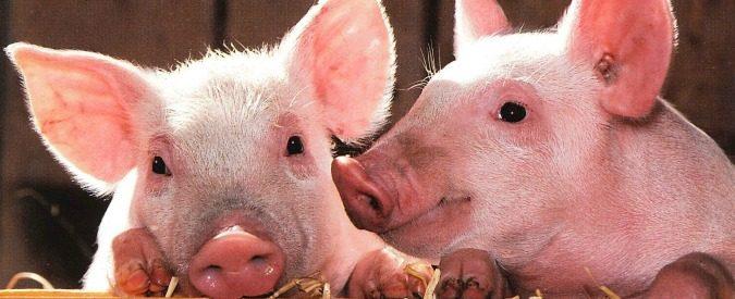 Francia: nasce il codice giuridico per animali. Un maiale sarà meno infelice di non essere nato cane