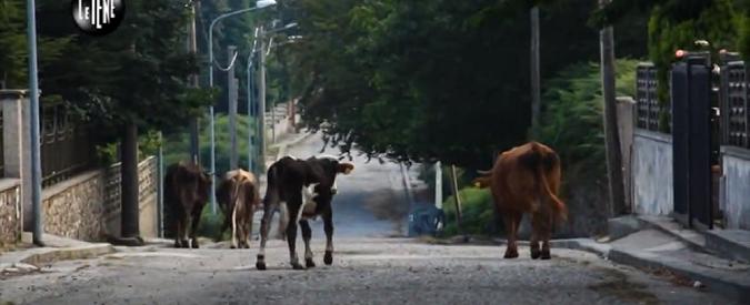 'Ndrangheta, catturate le vacche 'sacre'. Perché i bovini servono a dimostrare chi comanda