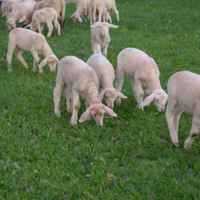 Pasqua 2018, cala la macellazione degli agnelli. E a Napoli l'assessore che vieta le teste d'animale in vetrina viene bloccata dal Tar
