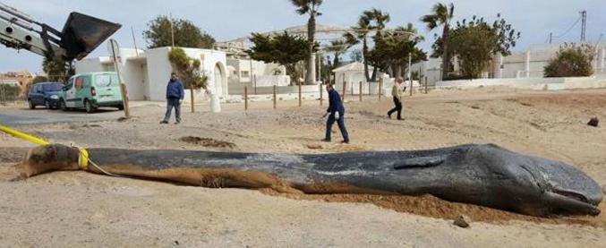 Spagna, capodoglio ucciso dai rifiuti: nel suo stomaco 29 chili di plastica