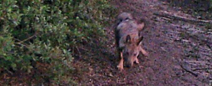 """Roma, ucciso il cucciolo di lupo disabile. La denuncia della Lipu: """"Investito volontariamente"""""""
